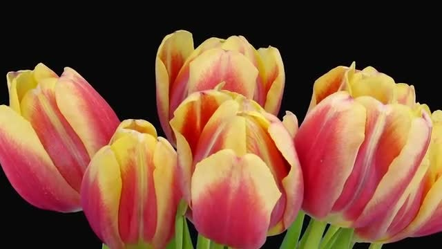 Two-Toned Pretty Tulips: Stock Video