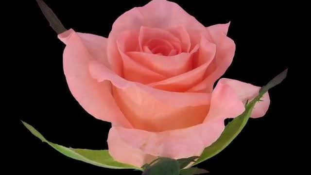 Lovely Pink Dream Rose: Stock Video