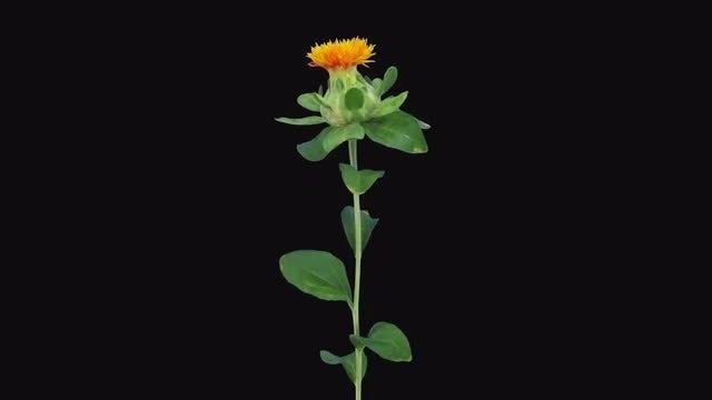 Zanzibar Flower's Top Petals Open: Stock Video