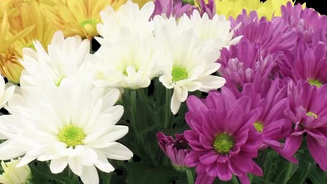 Multi-Color Chrysanthemums: Stock Video