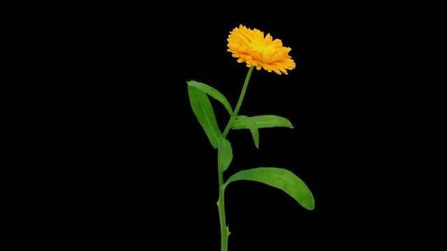 Opening Calendula Flower: Stock Video