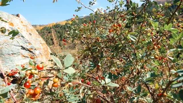 Autumn Berries In The Mountains: Stock Video