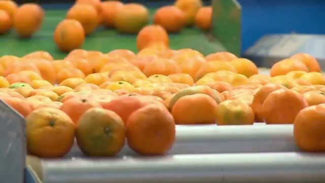 Tangerines On A Conveyor Belt: Stock Video