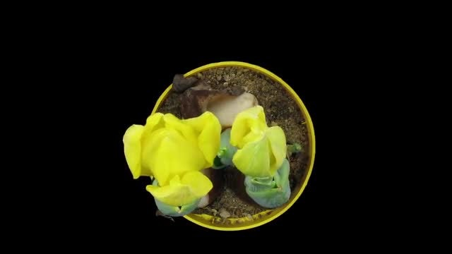 Yellow Tulip In A Pot: Stock Video