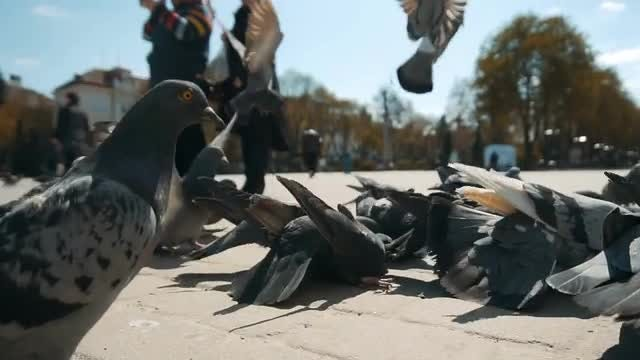 City Pigeons Being Fed By Tourists: Stock Video