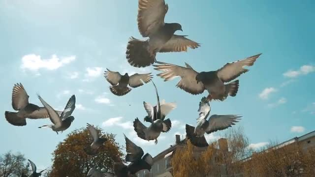 Flock Of Pigeons Flying: Stock Video