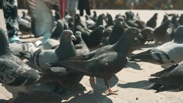 Pigeons Feeding In The Park: Stock Video