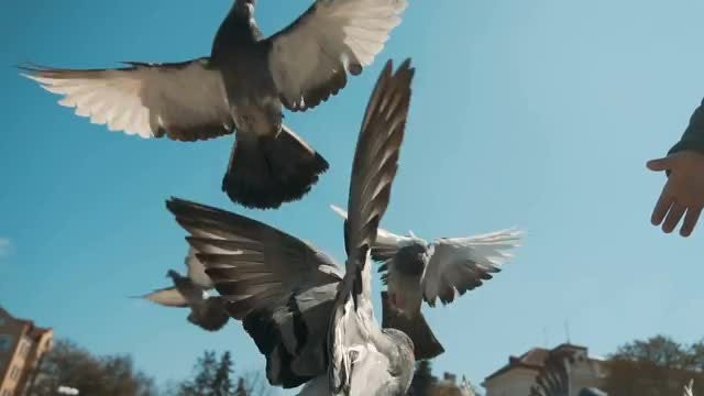 Pigeons Flying In Slow Motion: Stock Video