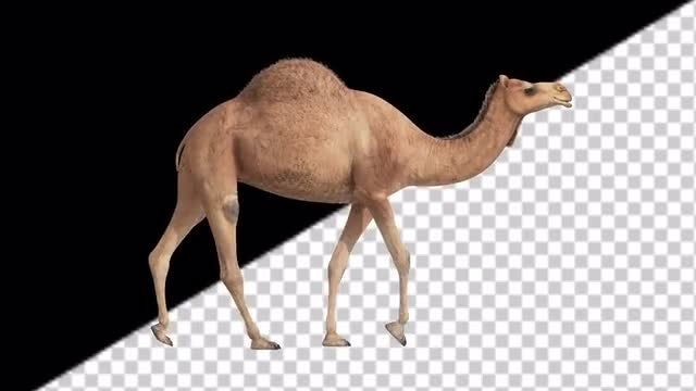 CG Camel Walking - Side View: Stock Motion Graphics