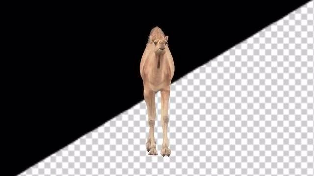 CG Camel Walking - Front View: Stock Motion Graphics