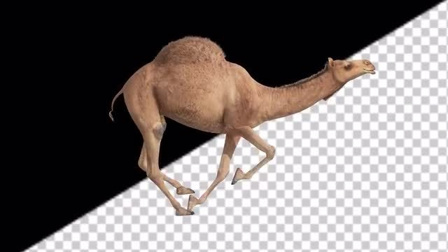 CG Camel Running - Side View: Stock Motion Graphics