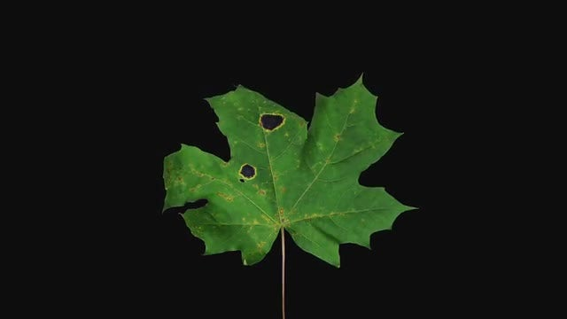 Green Maple Leaf Drying: Stock Video