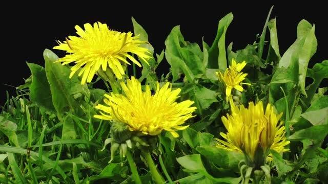 Yellow Dandelion Plant Opens Petals: Stock Video