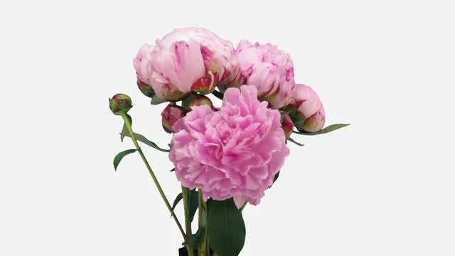 Fluffy Pink Peony Opens: Stock Video