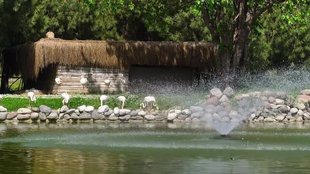 Flamingos By The Lake: Stock Video