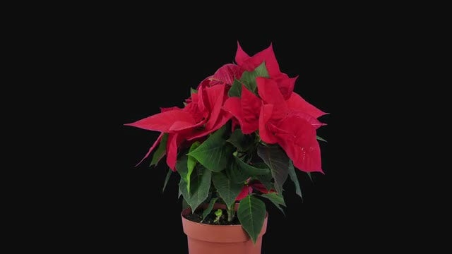 Time-Lapse of Growing Red Poinsettia Flower: Stock Video
