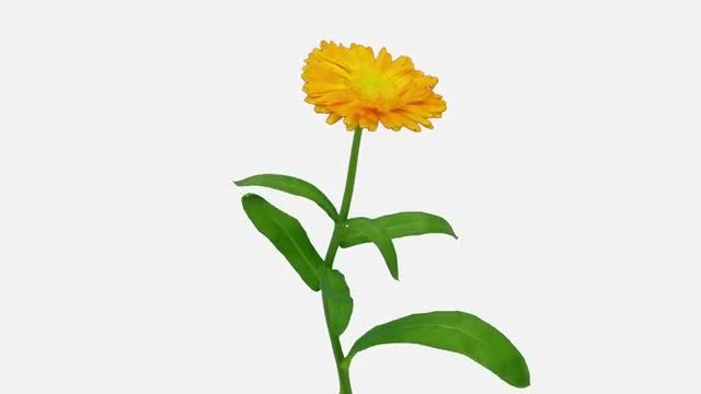 Time-Lapse of Opening Calendula Flower: Stock Video
