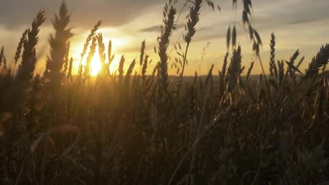Ears Of wheat At Sunset: Stock Video