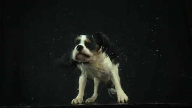 Dog Shaking Off Water: Stock Video