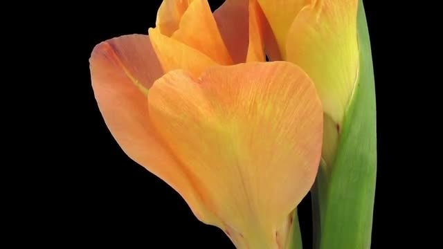 Closeup Of Opening Gladiolus Flower: Stock Video