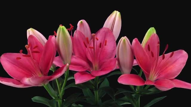 Pink Lily Bouquet Blooming: Stock Video