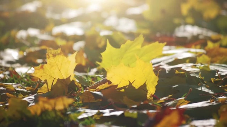 Close-up Shot Of Autumn Leaves: Stock Video