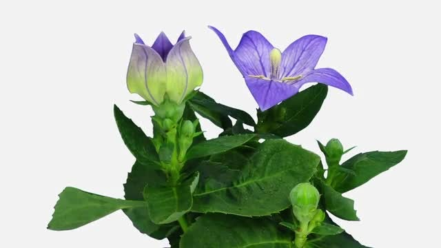 Blue Campanula Flower: Stock Video