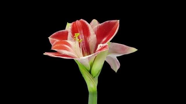 Amaryllis Carnival Christmas Flower Opening: Stock Video