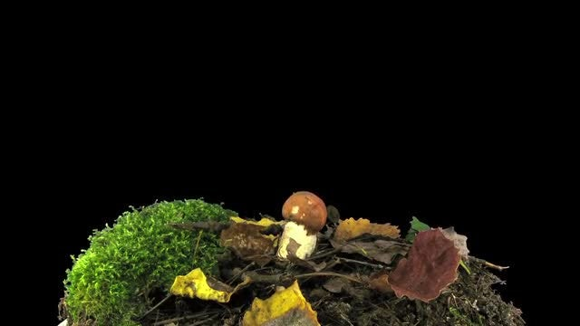 Time Lapse Of Leccinum Mushroom: Stock Video