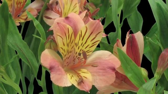 Yellow-red Peruvian Lilies Opening: Stock Video