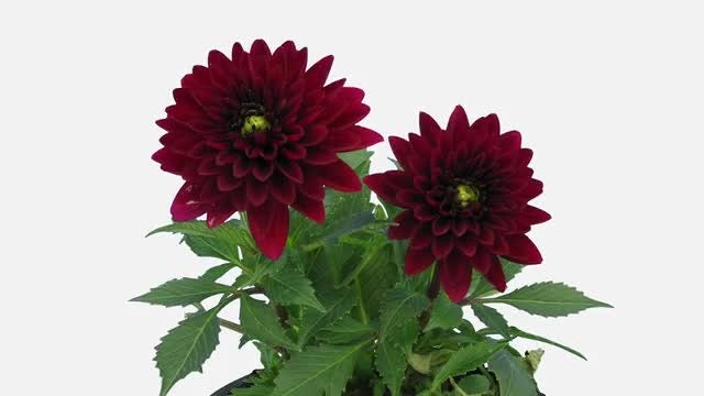 Time Lapse Of Opening Dahlia: Stock Video