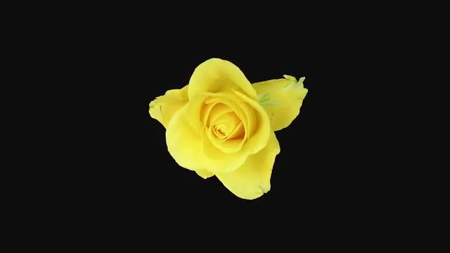 Yellow Rose Flower Opening: Stock Video
