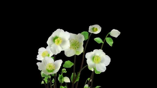 Helleborus Christmas Rose Flowers Opening: Stock Video