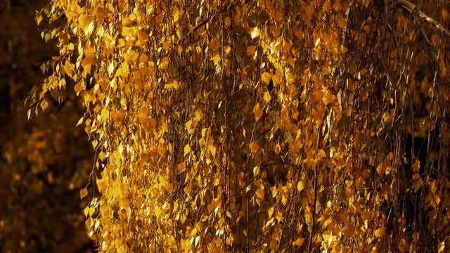 Yellow Leaves In The Wind: Stock Video