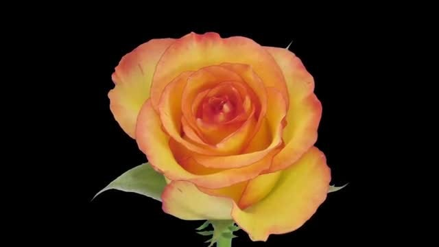 Birdy Rose Flower Opening: Stock Video