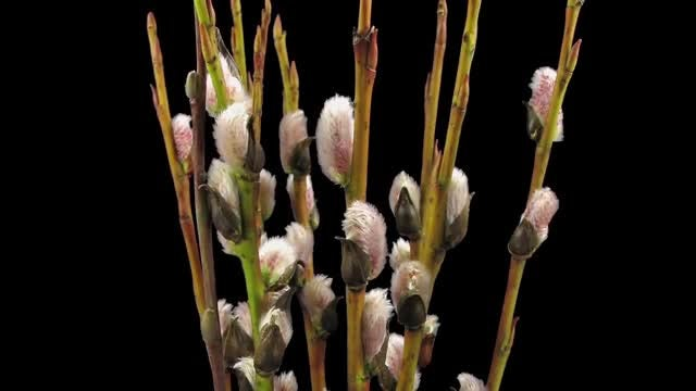 Willow Catkins Blooming: Stock Video