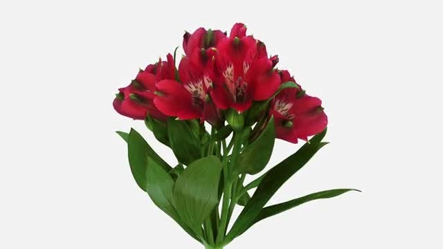 Red Peruvian Lilies: Stock Video