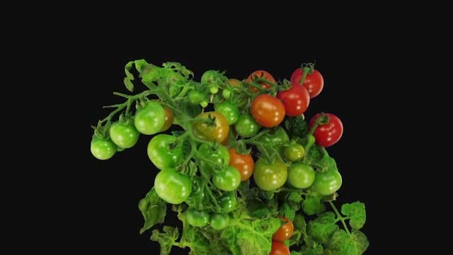 Green Tomato Fruits Ripening: Stock Video