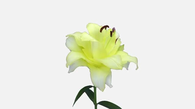 Yellow Lily Flower Opening: Stock Video