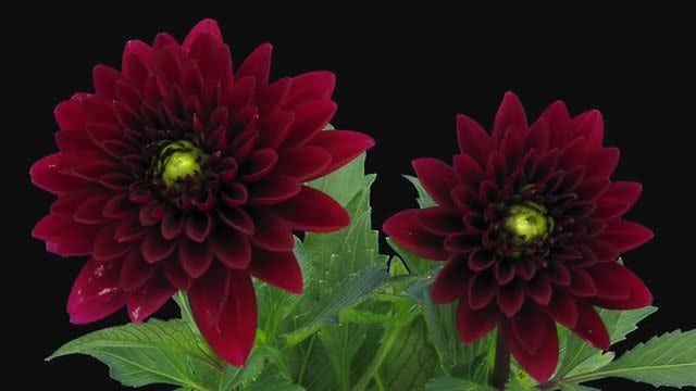 Red Dahlia Flowers Opening: Stock Video