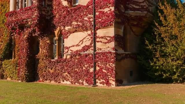 Closeup Shot Of Autumnal Ivy: Stock Video