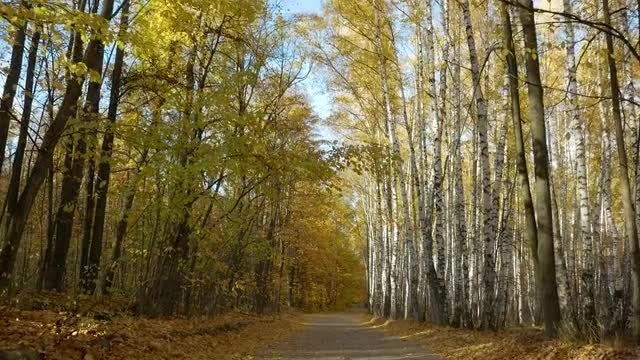 Passing By Yellow Birch Trees: Stock Video