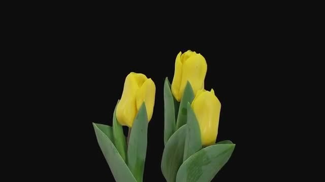 Beautiful Yellow Tulips Growing: Stock Video