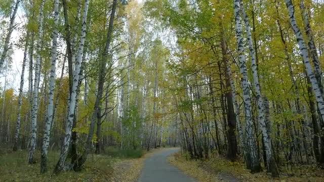 Birch Trees: Stock Video