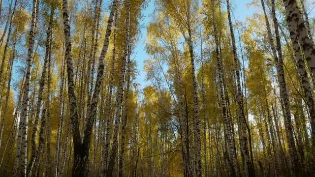 Walking Through Yellow Birch Trees: Stock Video
