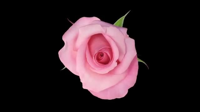 Pink Blushing Akito Rose Opening: Stock Video