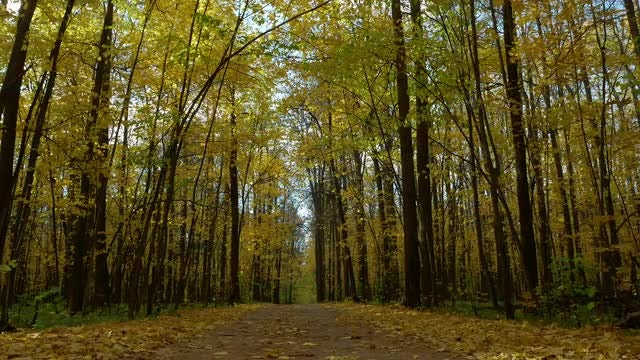 Forest With Yellow Birch Trees: Stock Video
