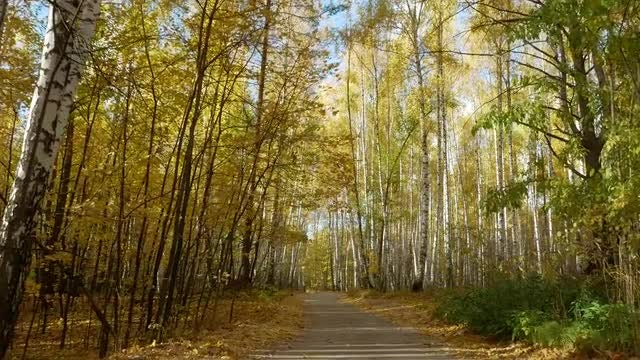 Walking Through Autumn Birch Trees: Stock Video