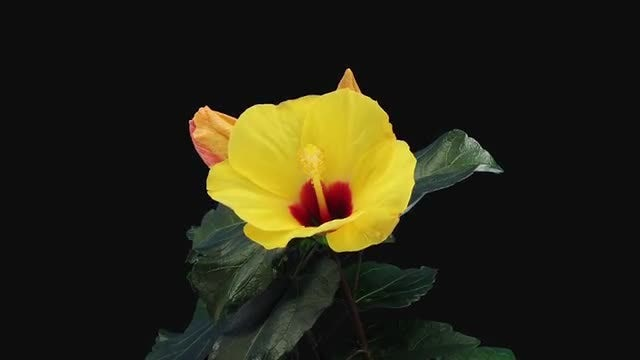 Yellow Chinese Rose (Hibiscus) Flower: Stock Video