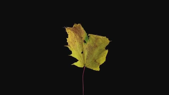Yellow Maple Leaf Dying: Stock Video